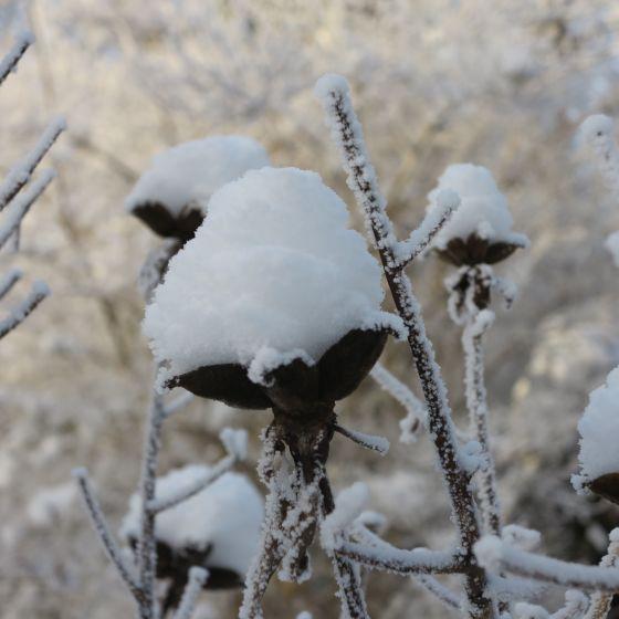 pion i snö