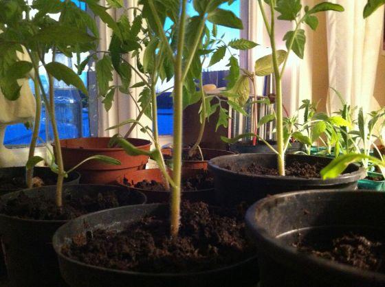 tomatplantor dag2