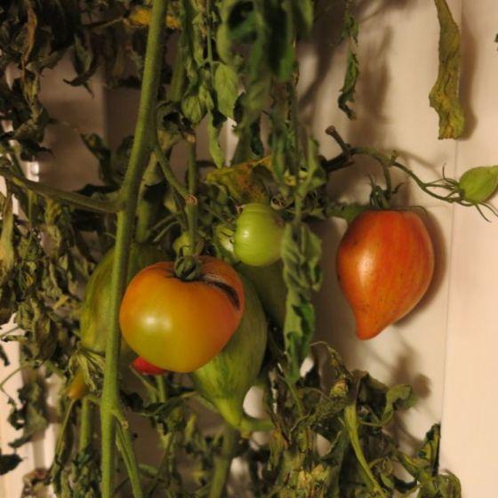 eftermogna tomater