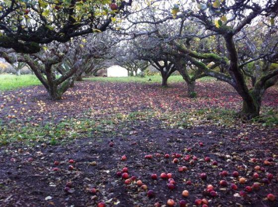 Äpplen i båstad