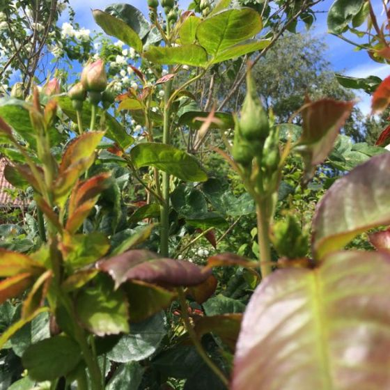 rosenknoppar