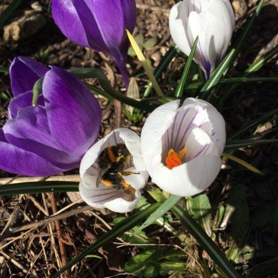 Hummla m pollen 1