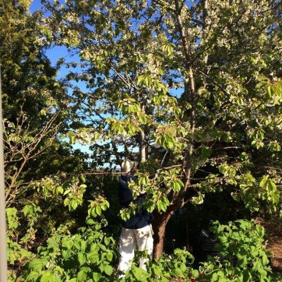i körsbärsträdet
