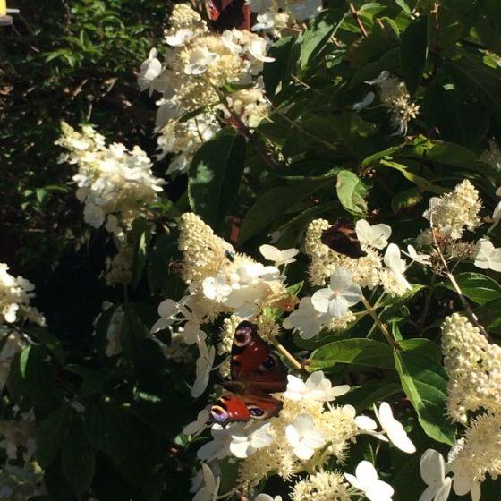 fina fjärilar