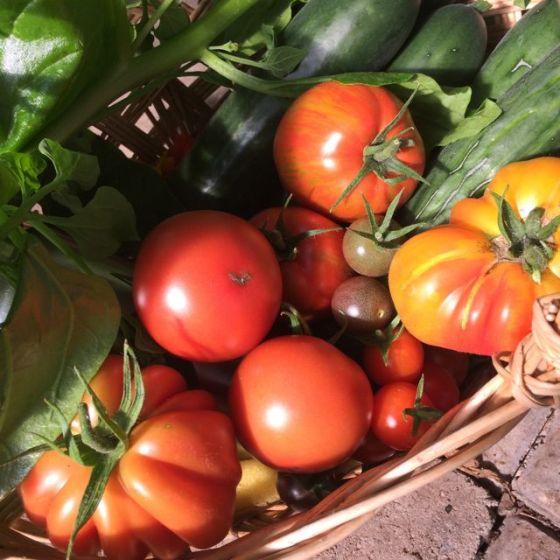skördekorg, tomater -15