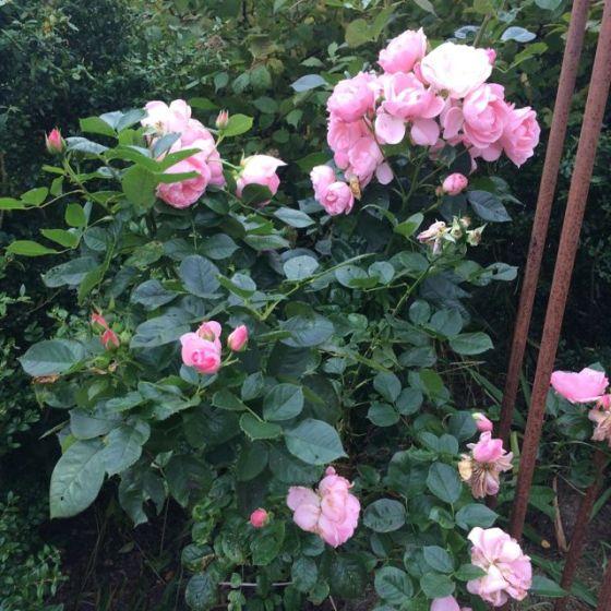 Astrid-rosor
