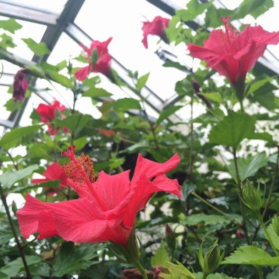 Hibiscus blom