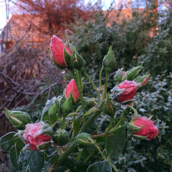 vintrig rosenknopp