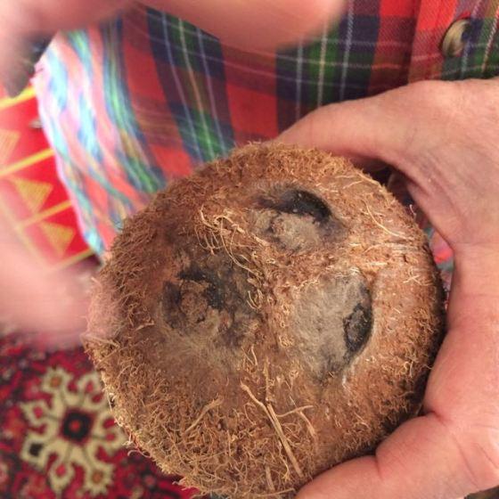 kokosnöt, de tre groparna