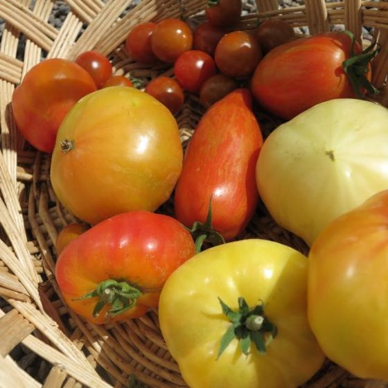våra tomater, blandade