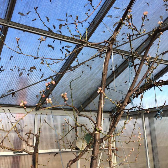 Persikoträd, blommor