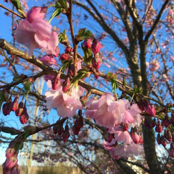 körsbärsblomsbuske