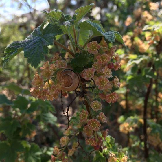 vinbärsblommor