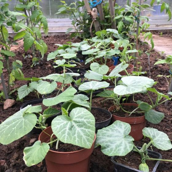 plantor, butternut