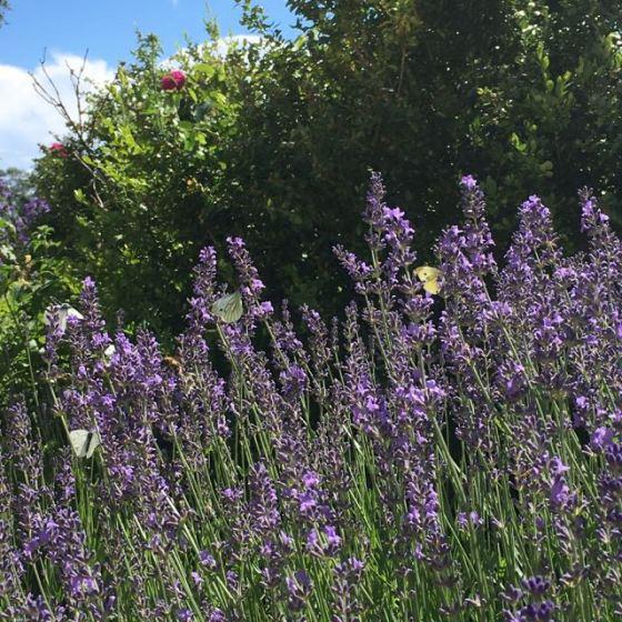 Lavendelblom