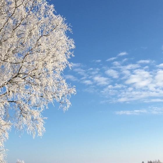 Rimfrost i träd