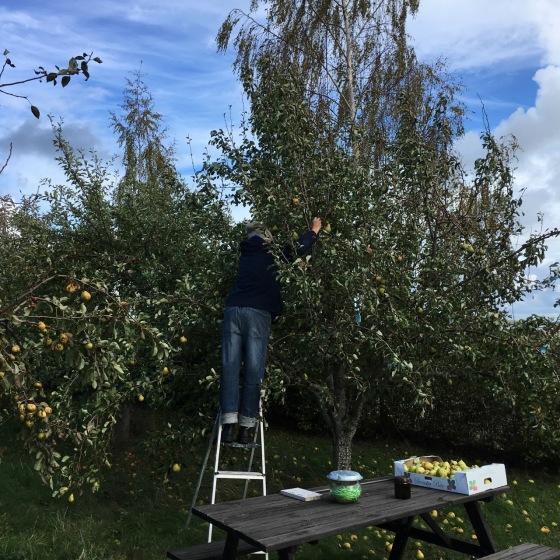 Rurik plockar äpple
