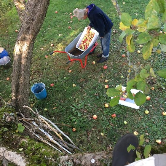 Äppelplockning