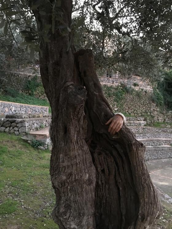 Olivträds kramning
