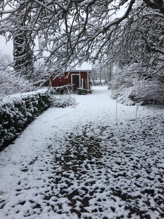 Snö i trädgården