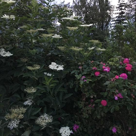 fläderblom och Rose de Reicht
