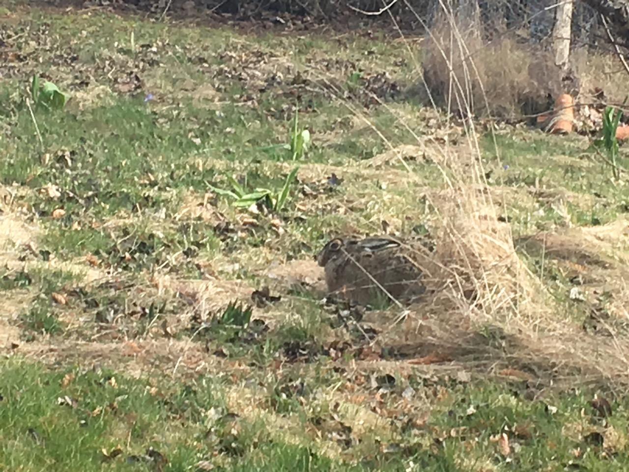 kurande hare