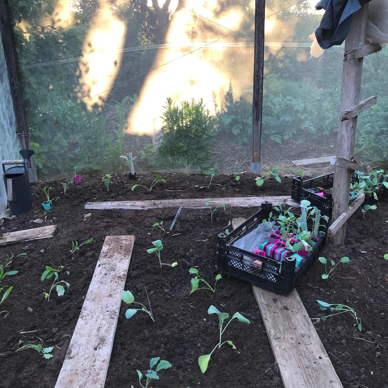 plantering av kålväxter
